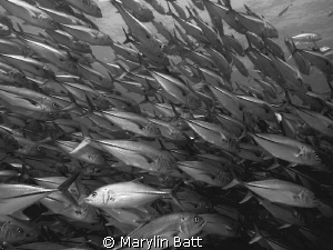 Huge school of Jacks at Calbo Pulmo by Marylin Batt 